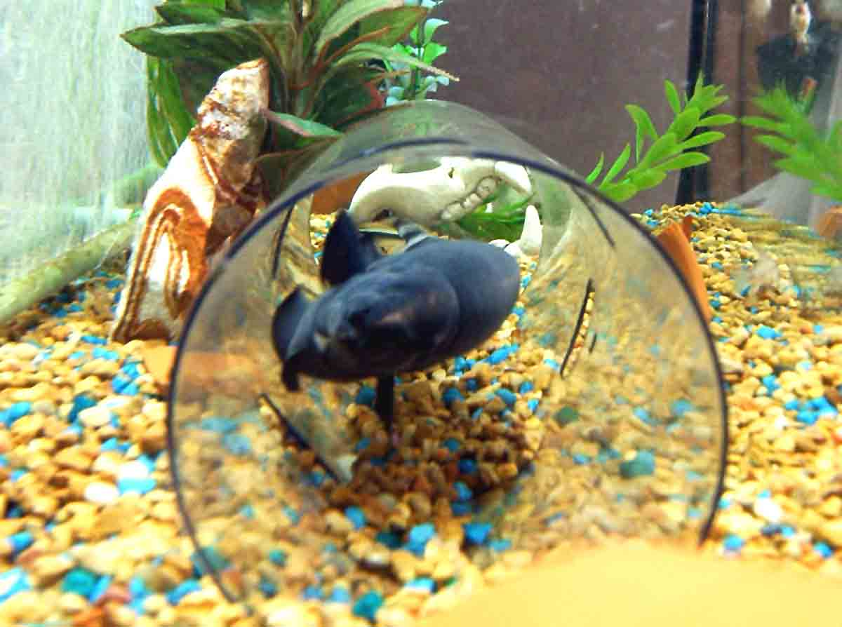 Freshwater aquarium knife fish - An Error Occurred