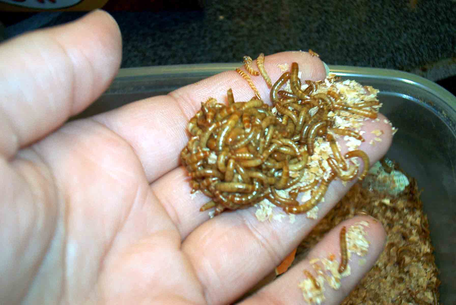 How to Raise Meal Worms | Random Bits of Projects