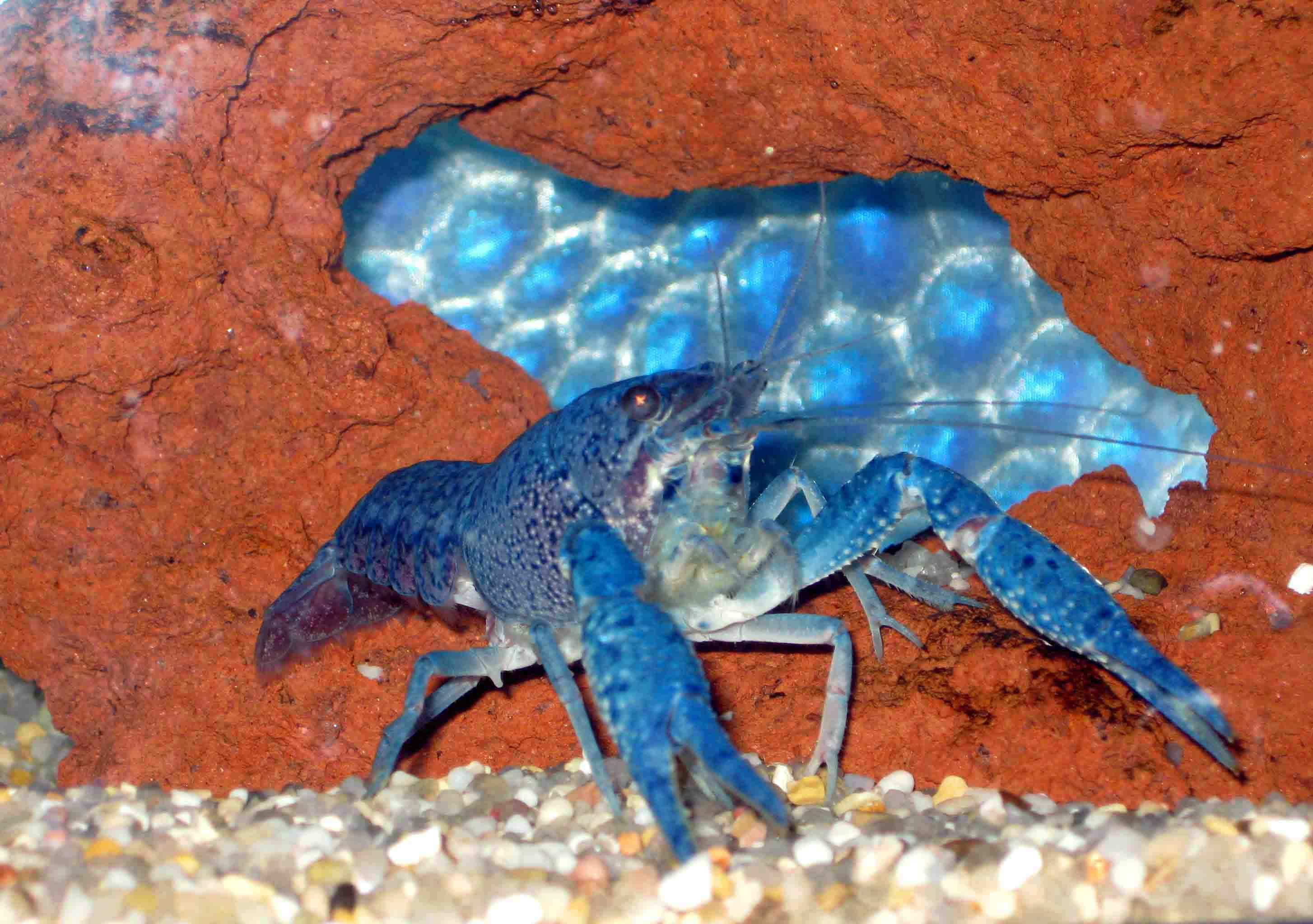Blue Crayfish Eggs | www.pixshark.com - Images Galleries ...