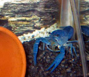 crayfish-march-09