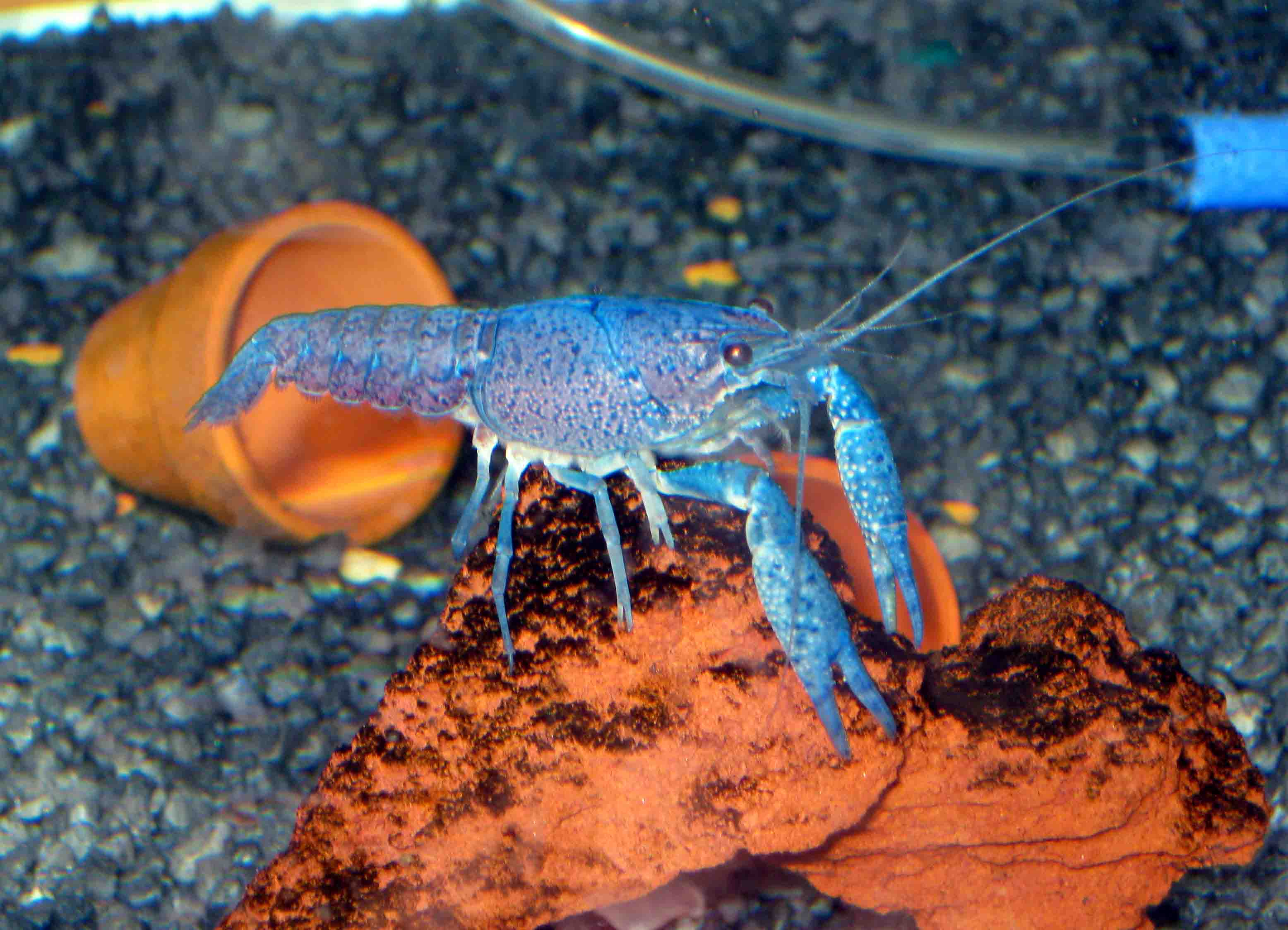 Crayfish As Pets My Electric Blue Boy Random Bits Of Projects