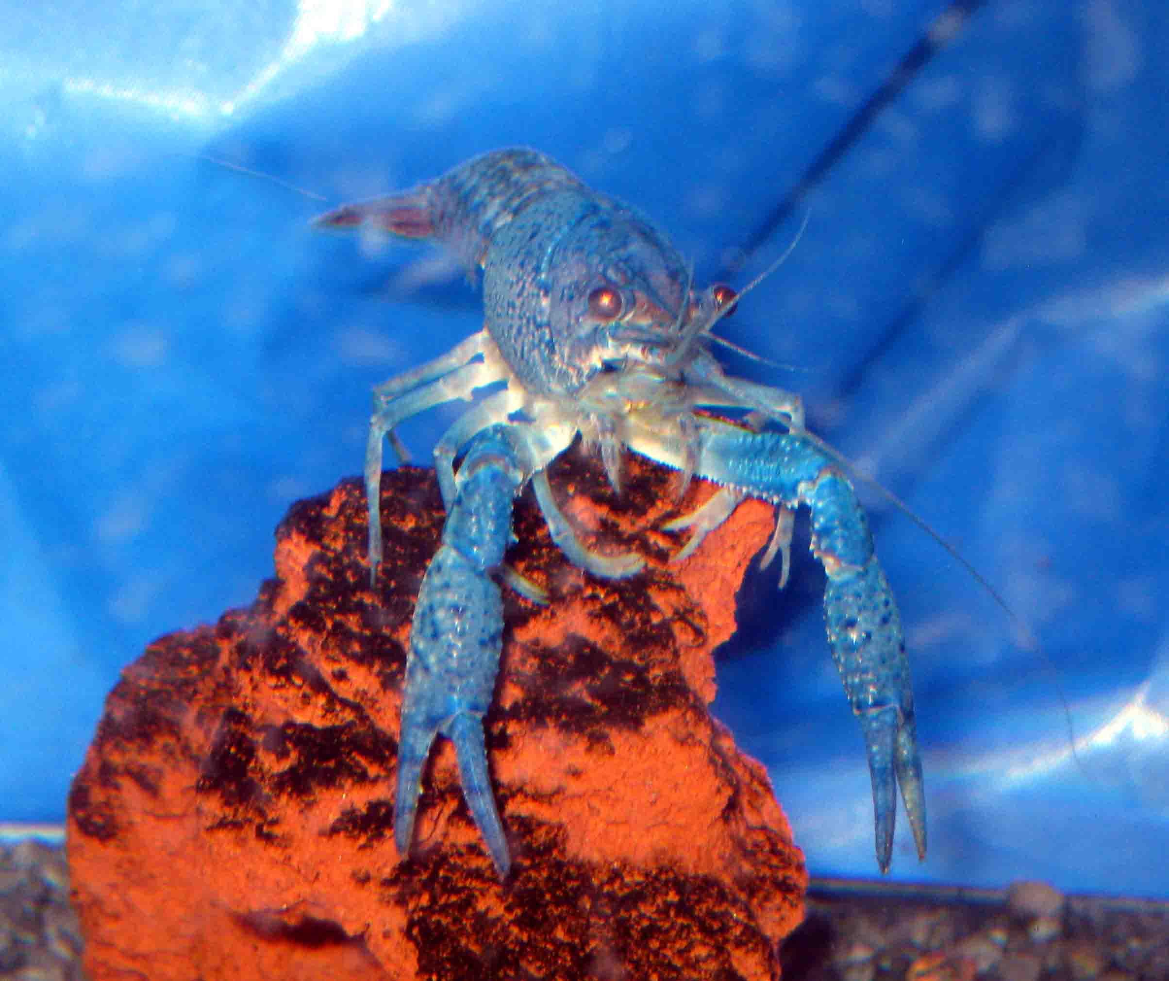 Crayfish Vs Lobster