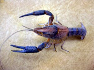 Have a crustacean (crayfish) molt? You can set it and keep it