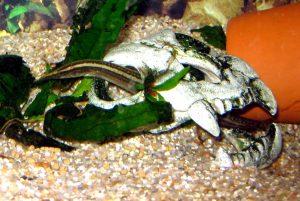 eel-in-skull1