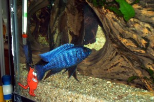 fish-blue-alhi2