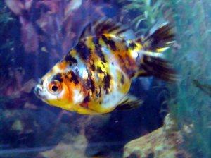 chester goldfish